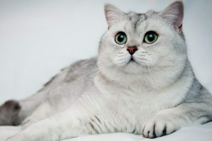 Chinchillakatze (Chinchilla Cat)